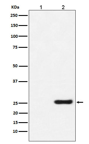 Western blot analysis of GST protein expression in (1) 293T cell lysate; (2) 293T cell transfected with GST protein lysate.