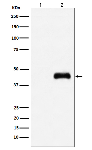 Western blot analysis of HA-tagged protein expression in (1) 293T cell lysate; (2) 293T cell transfected with HA-tagged protein lysate.