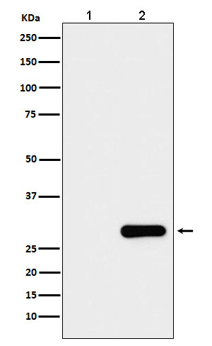Western blot analysis of GFP protein expression in (1) 293T cell lysate; (2) 293T cell transfected with GFP protein lysate.