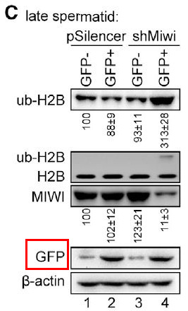 Ubiquitination-Deficient Mutations in Human Piwi Cause Male Infertility by Impairing Histoneto-Protamine Exchange during Spermiogenesis. -CELL
