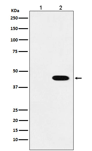 Western blot analysis of Flag-tagged protein expression in (1) 293T cell lysate; (2) 293T cell transfected with Flag-tagged protein lysate.