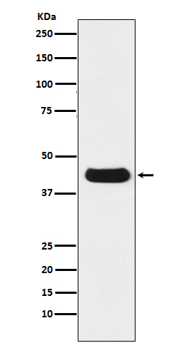 Western blot analysis of extracts from V5-tag fusion protein, using V5-tag Mouse Monoclonal Antibody.