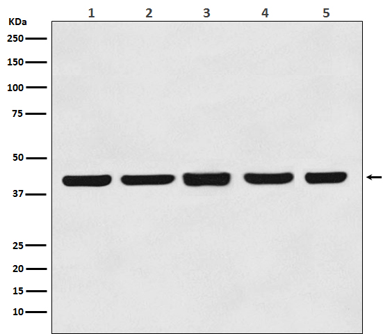 Western blot analysis of beta Actin expression in (1) Hela cell lysate; (2) Rat brain lysate; (3) Mouse brain lysate; (4) Chicken lung lysate; (5) Rabbit testis lysate with beta Actin mouse mAb