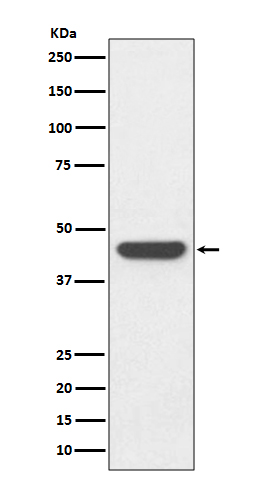 Western blot analysis of HA-tag fusion protein, using HA tag Antibody