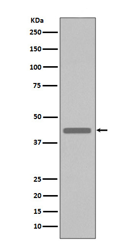 Western blot analysis of extracts from VSV-G tag fusion protein, using VSV-G tag antibody.
