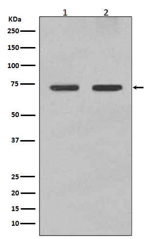 Western blot analysis of Lamin B1 expression in (1) Hela cell lysate; (2) Jurkat cell lysate; (3) Mouse brain lysate; (4) Rat heart lysate with Lamin B1 Antibody.