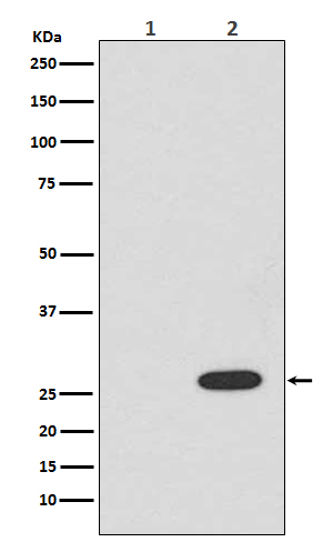 Western blot analysis of RFP expression in (1) 293T cell lysate; (2) 293T cell lysate transfected with RFP.