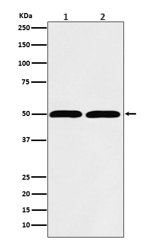 Western blot analysis of beta Tubulin expression in (1) Hela cell lysate; (2) RAW 264.7 lysate.