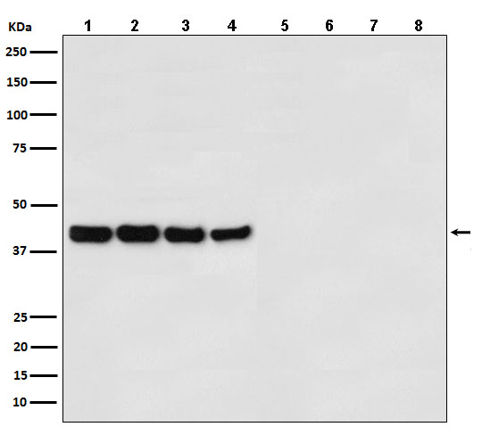Western blot analysis of (1) Hela cell lysate; (2) MCF7 cell lysate; (3) Mouse liver lysate; (4) Rat spleen lysate with GAPDH Antibody and (5) Hela cell lysate; (6) MCF7 cell lysate; (7) Mouse liver lysate; (8) Rat spleen lysate without primary antibody,