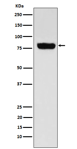 Western blot analysis of SLC22A3 expression in Human muscle cell lysate.