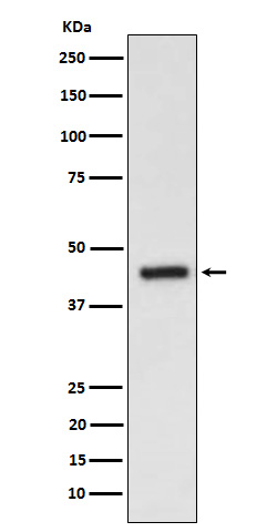 Western blot analysis of EDG3 expression in HepG2 cell lysate.