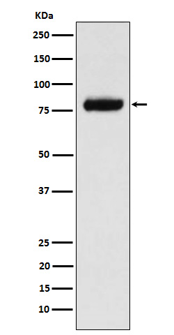 Western blot analysis of PLAP expression in MCF7 cell lysate.