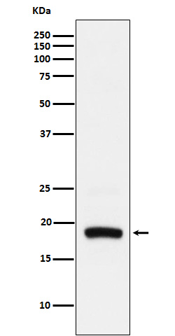 Western blot analysis of ARF5 expression in Hela cell lysate.
