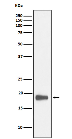 Western blot analysis of HMGN2 expression in K562 cell lysate.