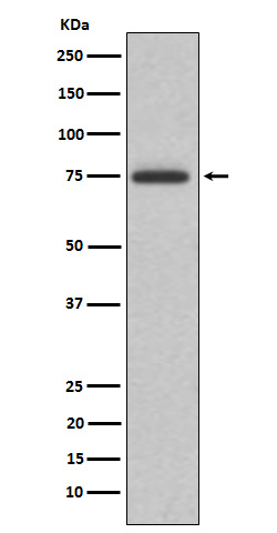 Western blot analysis of ABI2 expression in K562 cell lysate.