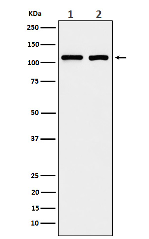 Western blot analysis of eIF3B expression in (1) A431 cell lysate; (2) 293T cell lysate.