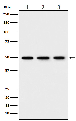 Western blot analysis of EEF1G expression in (1) 293T cell lysate; (2) HepG2 cell lysate; (3) NIH/ 3T3 cell lysate.